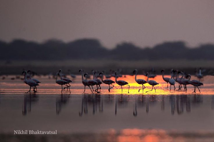 Flamingos dancing to the tunes of the sunset in the hardly inhabited Little Rann of Kutch , golden waters. It's always good to spread the positive vibes of nature, do share the image. #wildlife #photography #travel #birds #flamingo #kutch #gujrat #NBVphotography