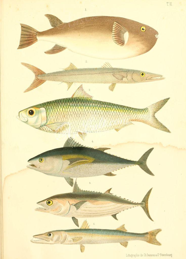 tetrodon porphyreus (uL), Pickhandle Barracuda, Bonga Shad, Atlantic Bluefin Tuna, Great Barracuda      ...