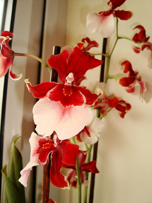 Cambria Orchids - info and care tips