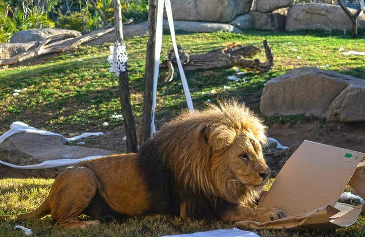 Los leones también tuvieron su regalo el día de Reyes en Bioparc Valencia