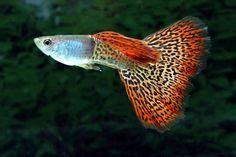 pez-guppy