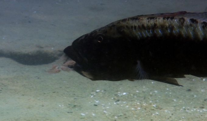Afrika Gölleri Ciklet Balıkları-Yavrular tehlike anında topluca annesinin ağzına saklanırlar