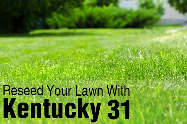 How To Reseed Your Lawn With Kentucky 31 Tall Fescue Tall Fescue Fescue Lawn Fescue