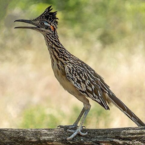 best roadrunner images nature birds and earth cuckoo crazy definition greater roadrunner the greater roadrunner geococcyx californianus
