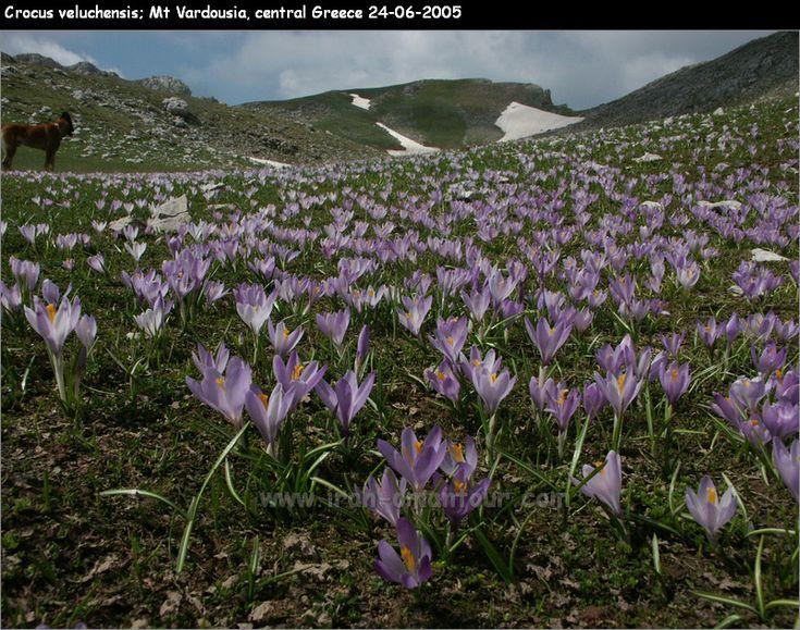 Crocus veluchensis Mt Vardousia