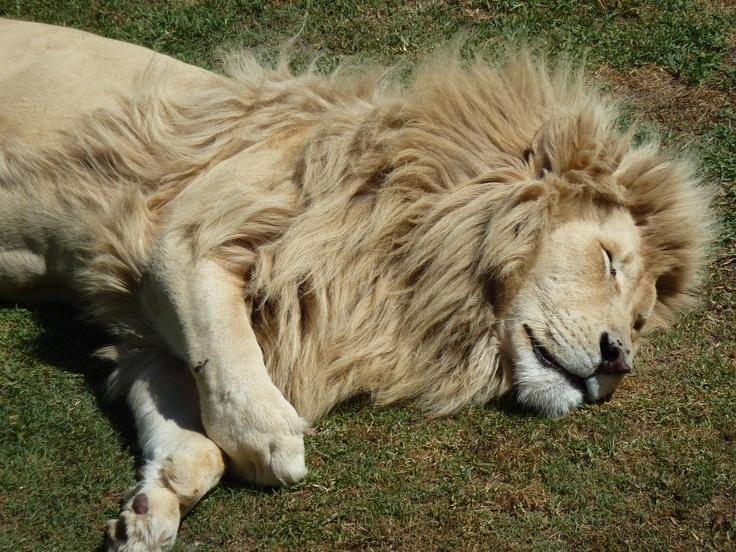 The Lion, so cute...