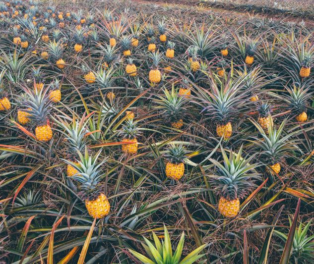 Touring a Hawaiian Pineapple Farm