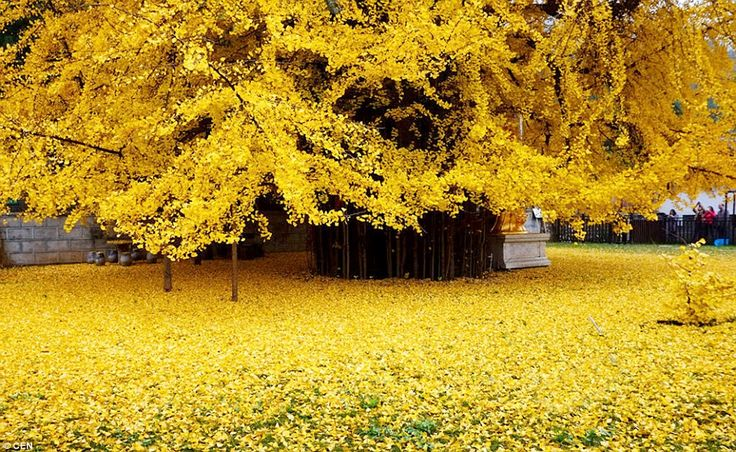 Golden carpet:With fan shaped leaves, the ginkgo is a large deciduous tree that will be completely bare and leafless in the heart of winter