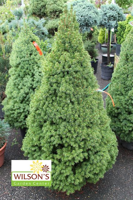 Dwarf alberta spruce favorite trees and shrubs pinterest for Specimen evergreen trees small