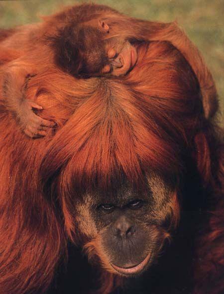 photograph of a orang-utan and baby
