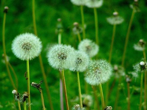 How to Kill Weeds With Vinegar: Dandelions Seeds, Gardens Weed, Gardens Simple Outdoor, Gardens Simpleoutdoor, Gardens Landscape Outdoor, Gardens Yard, Backyard Gardens, Kill Gardens, Gardens Stuff