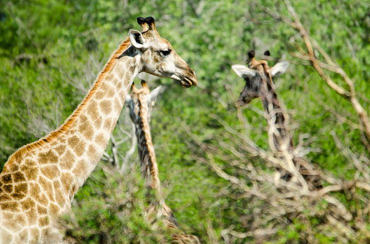 La mia esperienza di avvistamenti durante safari nel Kruger park - prima parte. Rinoceronti, giraffe, antilopi, ma anche leopardi e iene.