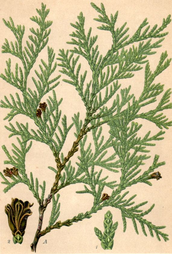 Plate 44. Thuja occidentalis, Abendländischer Lebesbaum. Northern white-cedar. Antique botanical lithograph from a homeopathy book issued in