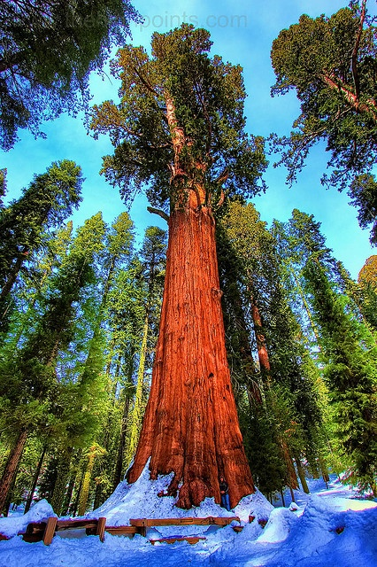 The General Sherman is a giant sequoia tree located in Sequoia National Park, Tulare County, California. By volume, it is the largest known living single stem tree on Earth. http://en.wikipedia.org/wiki/General_Sherman_(tree)
