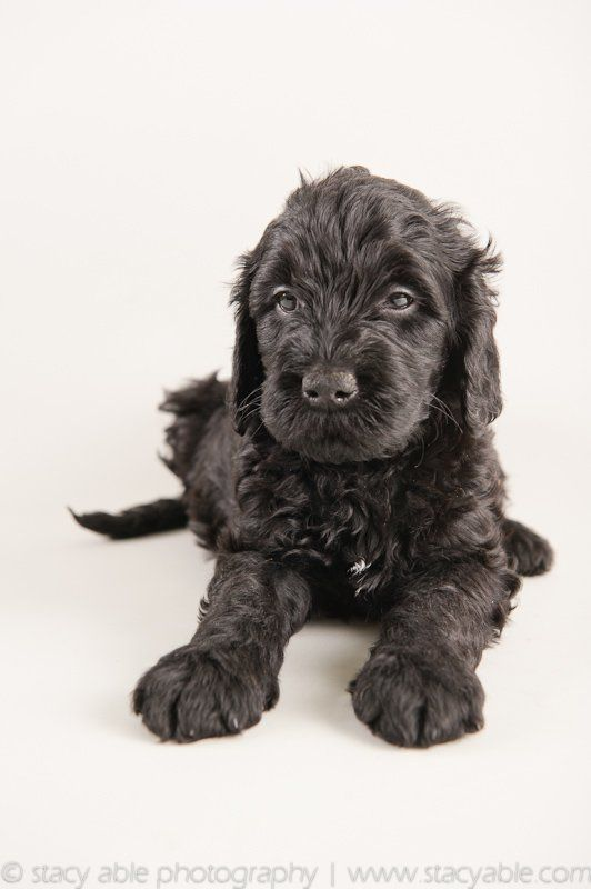 Barbet puppy 6 weeks old by stacy able photography