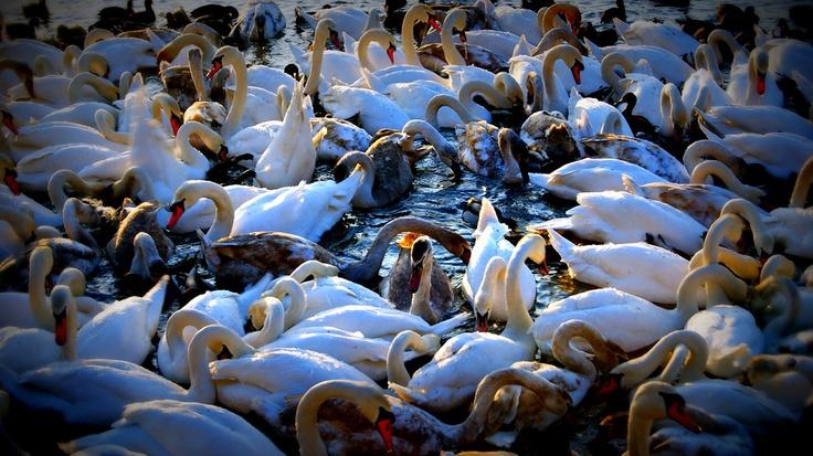 la swans