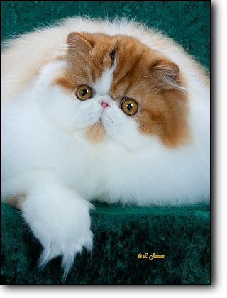 1628 best images about persian cats on pinterest persian for Koi pond maine coon cattery