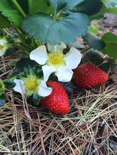 Tips for growing strawberries in your vegetable garden! Such as - strawberries like a slightly acid soil so mulching with pine needles is a good idea!