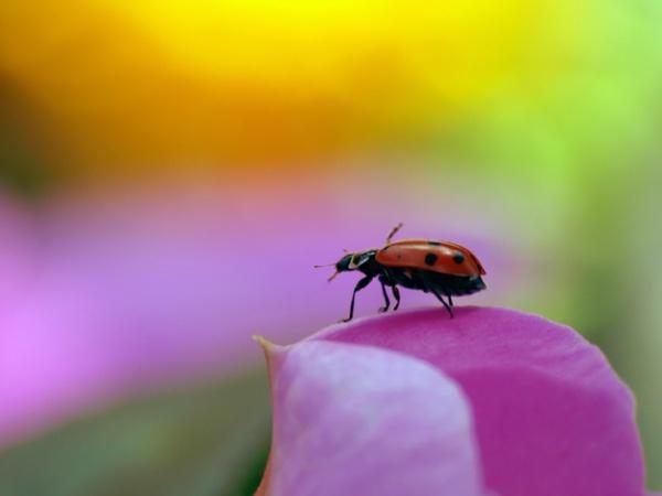 Ladybug on a flower petal.