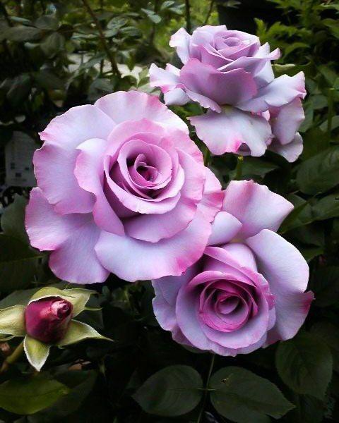 floribunda g l dioressence rose my flowers. Black Bedroom Furniture Sets. Home Design Ideas