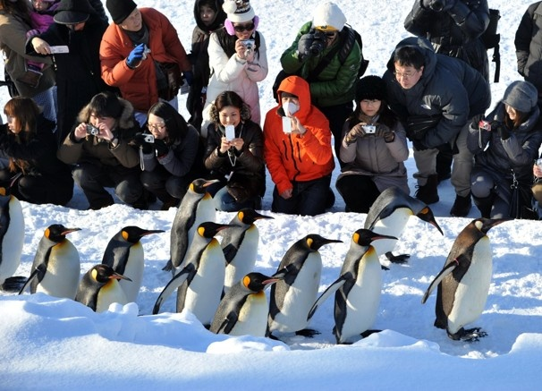 King penguins walk on a road covered with snow as visitors watch at the Asahiyama Zoo in Asahikawa city on Japan's northern island of Hokkaido. Penguins take a stroll for visitors every day as a form of exercise.