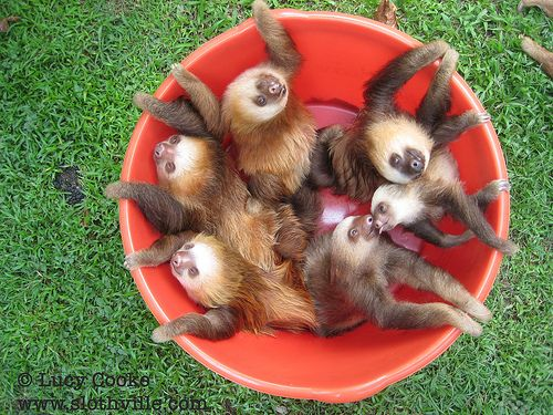A Bucket of Sloths -- the Perfect Valentine's Gift (VIDEO)