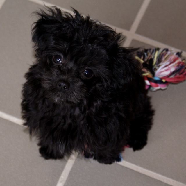 366 best images about ♡♡ Black Poodles ♡♡ on Pinterest ...  366 best images...