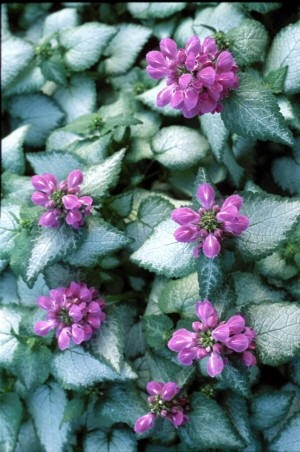 Spotted Dead Nettle 'Purple Dragon'..this is so pretty in the shade garden and blooms forever!
