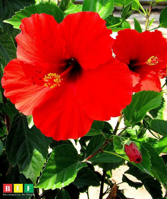 """La Cayena"" Flower symbol Barranquilla, Colombia"