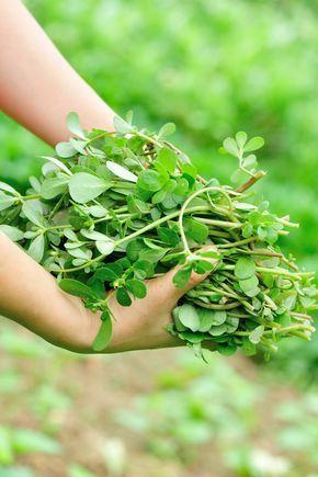 In de zomer hebben we meer behoefte dan ooit aan lichte gerechten en groenten. Lekker fris, niet te zwaar en natuurlijk bomvol smaak. Witte asperges zijn favoriet, net als verse tuinbonen en doperwten, maar ook postelein is een groente die niet mag worden overgeslagen! Postelein is een prachtige bladgroente die je (gelukkig) steeds vaker ziet …