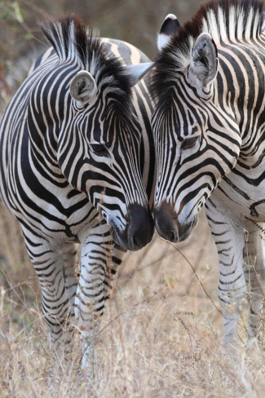 ...and when God made the Zebra ~ He smiled.  Zebra heads by Ryan Jack