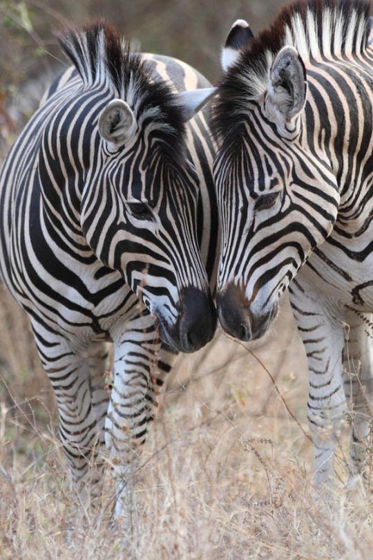 Zebra heads by Ryan Jack