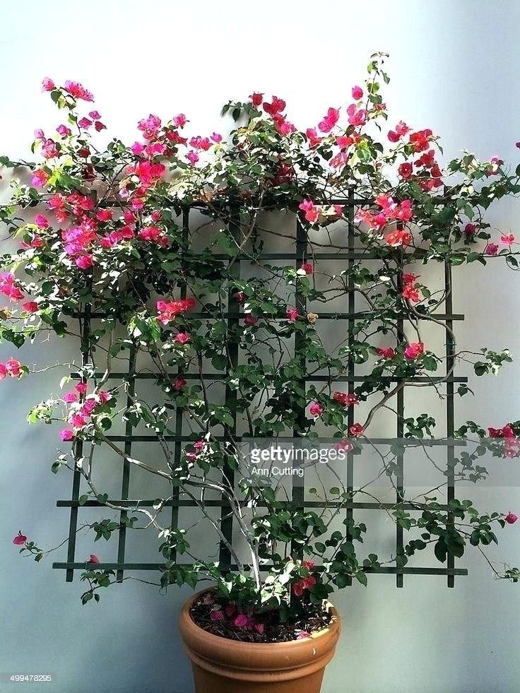 Wonderful Bougainvillea Trellis Ideas Best Of Bougainvillea Garden Ideas Source Via Wintersun Club With Images Bougainvillea Trellis Garden Vines Trellis Plants