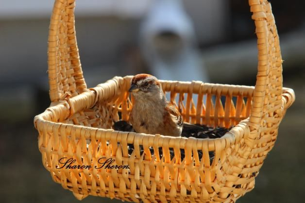 Feeding Birds with Recycled Baskets: Save money by feeding birds from baskets found at thrift and other bargain stores or one around the house that you are not using.