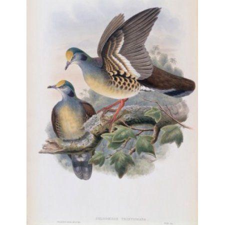 Branded Pigeon John Gould (1804-1881 British) Canvas Art - John Gould (18 x 24)