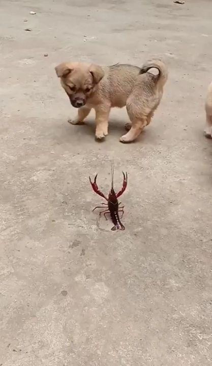 Cachorros jugando con una langosta   – Tierkinder