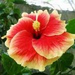 Foto Bunga Kembang Sepatu Merah Kuning
