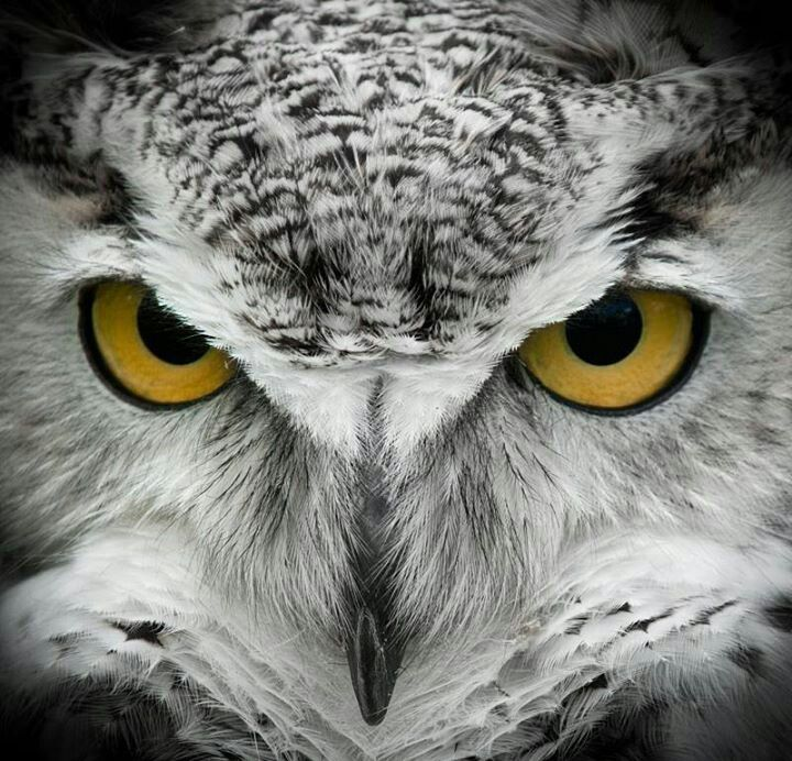 Great Horned Owl Black And Grey Tattoo 17 Best images ...