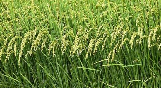New Delhi : Kharif crops have been sown on a total area of 1037.15 lakh hectares as on October 9, official data showed on Friday. The sowing of monsoon crops was on an area of 1,020.48 lakh hectares during the corresponding time of last year. Rice, a widely-eaten food in the country, was transplanted on 377.23 lakh hectares, pulses on...  Read More