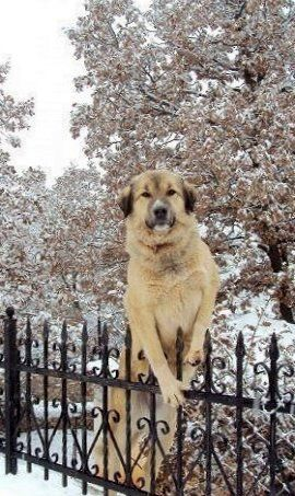 Greek Shepherd Dog (Hellenic-Poimenikos)
