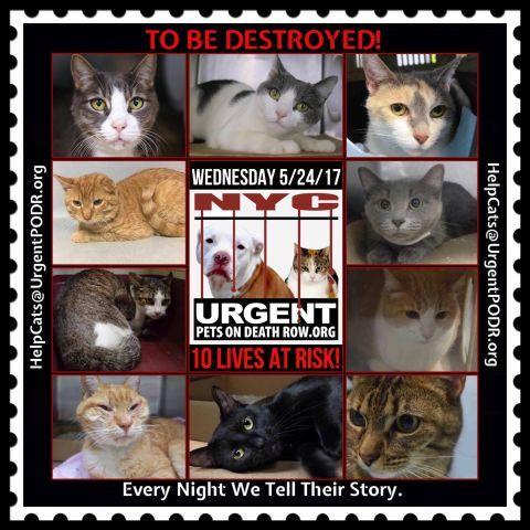 """TO BE DESTROYED 5/24/17 - - Info  Please share View tonight's list here: http://nyccats.urgentpodr.org/tbd-cats-page/. The shelter closes at 8pm. Go to the ACC website( http:/www.nycacc.org/PublicAtRisk.htm) ASAP to adopt a PUBLIC LIST cat (noted with a """"P"""" on their profile) and/or … CLICK HERE FOR ADDITIONAL…Please…Please...-  Click for info & Current Status: http://nyccats.urgentpodr.org/to-be-destroyed-32017/"""