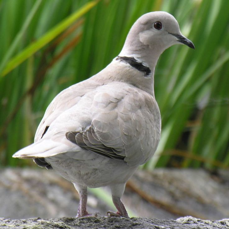 African collared dove vs eurasian collared dove - photo#6