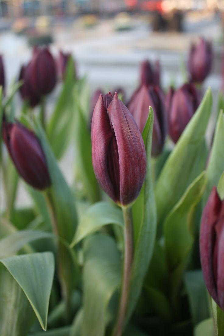 netherland, tulips
