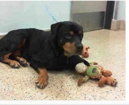 An eight-year-old Rottweiler stares through the bars of his kennel waiting for his family to return. Sadly, they have no intentions of coming back for Brock. The handsome senior was abandoned at Miami-Dade Animal Services on Tuesday; no reason was provided. Try to explain all of this to a very depressed senior abandoned at a …