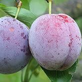 Methley Plum Tree for Sale | Fast Growing Trees