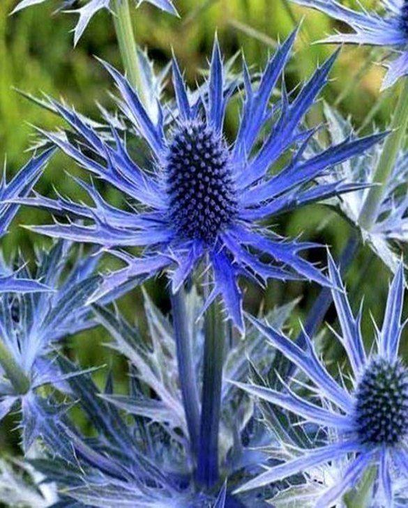 Eryngium Big Blue Thistle Plant Sea Holly Plants
