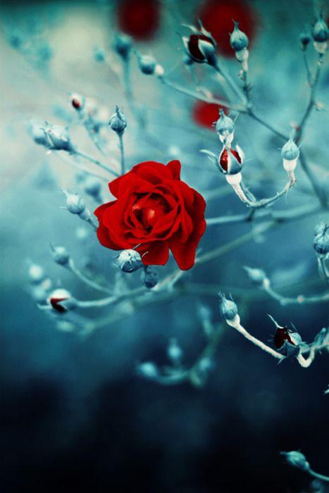 oooooo frozen beauty.. I love red roses..