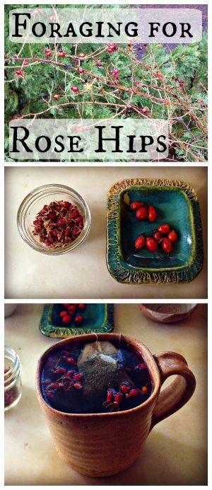 Foraging for Rose Hips~ Use dried or fresh berries to make a wonderful rose hip tea!
