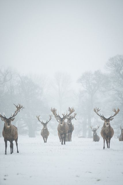 Red Deer - The Boys Are Back In Town by Old-Man-George, Woburn Deer Park, Bedfordshire, England