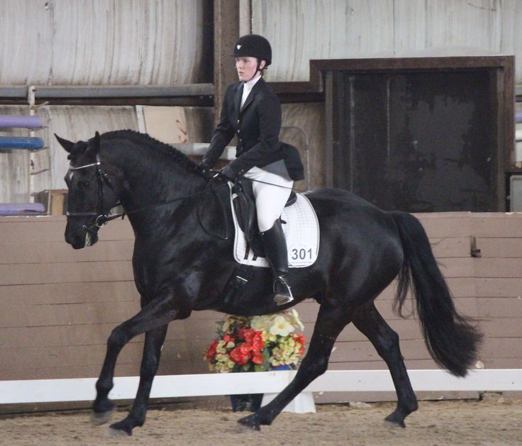 ARCHANGEL WHF - Carrots and Cocktails Series III Dressage Training level Reserve champion. Such a good baby and such a hard worker. So proud of my exquisite Friesian Sporthorse.